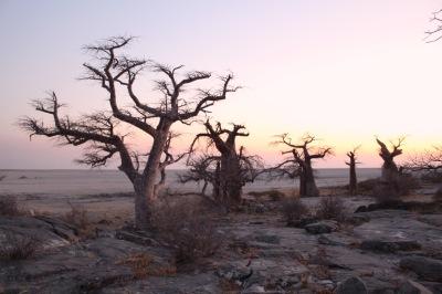 kubu baobabs