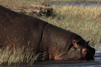 Descending Hippo