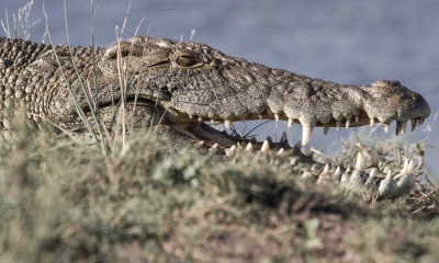Chobe rock-like croc