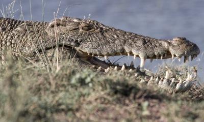 Chobe rock-like croc