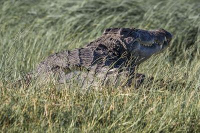 Chobe Croc