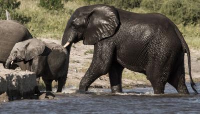 Swimming Chobe ellies
