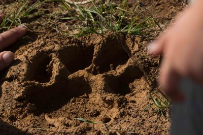 Lion Tracking