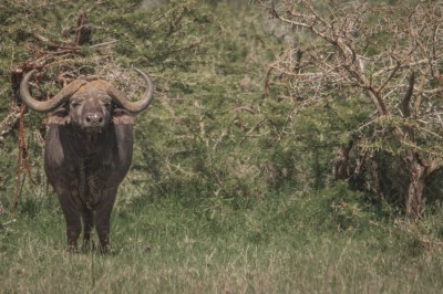Buffalo, Mugie Ranch, Northern Kenya