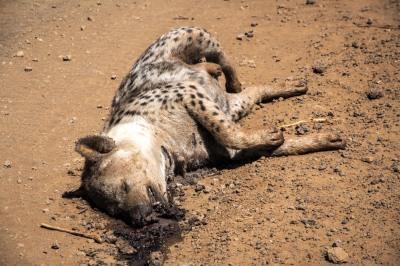 Rotting Hyena, Marsabit