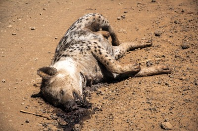 Rotting Hyena, Marsabit