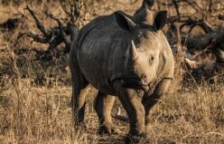 Ngala - Lions & Rhinos-1013