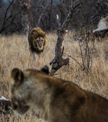 Ngala - Lions & Rhinos-1163