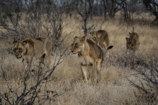 Ngala - Lions & Rhinos-1177