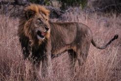 Ngala - Lions & Rhinos-1251